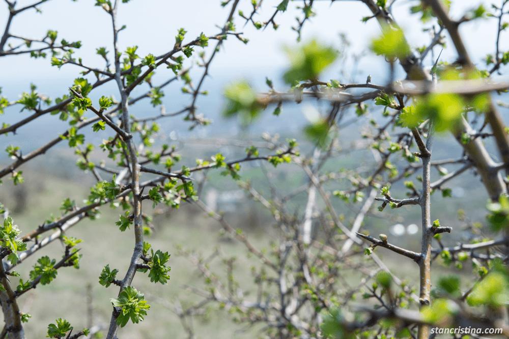 prin-copaci