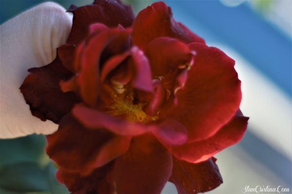 cele mai tari fotografii facute la trandafiri